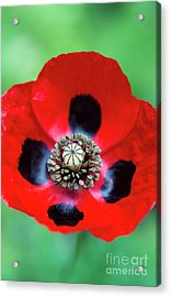 Acrylic Print featuring the photograph Ladybird Poppy Flower by Tim Gainey