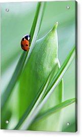 Ladybug Acrylic Print by Andrew Dernie