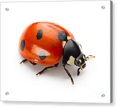 Ladybug Insect Isolated On White Acrylic Print