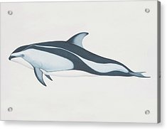 Lagenorhynchus Obliquidens, Pacific Acrylic Print by Martin Camm
