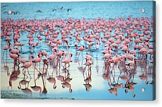 Lake Nakaru Flamingoes Acrylic Print by Grant Faint