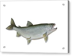 Lake Trout With Clipping Path Acrylic Print by Georgepeters