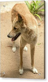 Acrylic Print featuring the photograph Large Australian Dingo Outside by Rob D
