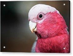 Large Pink And Grey Galah. Acrylic Print