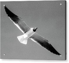 Laughing Seagull Acrylic Print