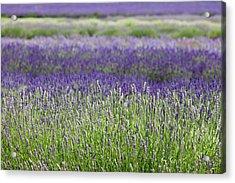 Lavender Acrylic Print by Andrew Dernie