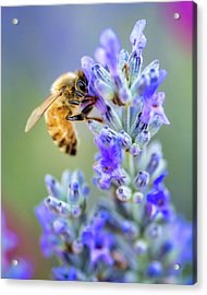 Acrylic Print featuring the photograph Lavender Bee by Nicole Young