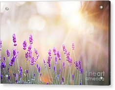 Lavender Bushes Closeup On Sunset Acrylic Print