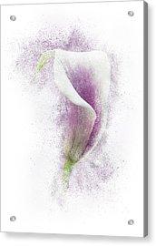 Lavender Calla Lily Flower Acrylic Print