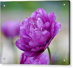 Lavender Tulip Acrylic Print