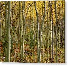 Lemhi Aspens Acrylic Print by Leland D Howard