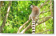 Lemur By Itself In A Tree During The Day. Acrylic Print