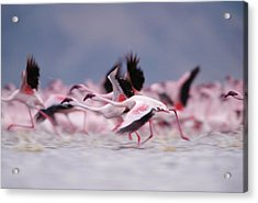 Lesser Flamingo Phoenicopterus Minor Acrylic Print by Tim Fitzharris/ Minden Pictures