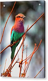 Acrylic Print featuring the photograph Lilac Breasted Roller by John Rodrigues