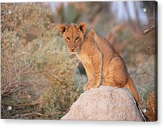 Acrylic Print featuring the photograph Lion Cub On Termite Hill by John Rodrigues