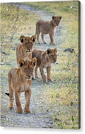 Acrylic Print featuring the photograph Lion Cubs On The Trail by John Rodrigues