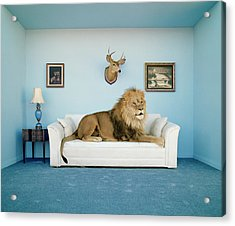 Lion Lying On Couch, Side View Acrylic Print by Matthias Clamer