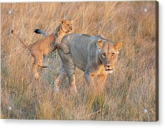 Acrylic Print featuring the photograph Lioness And Cub by John Rodrigues