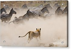 Lioness Attack On A Zebra. National Acrylic Print