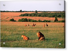 Lions And Lioness Panthera Leo Watching Acrylic Print by Martin Harvey