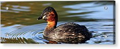 Acrylic Print featuring the photograph Little Grebe In Pond by Grant Glendinning