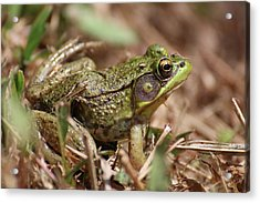 Little Green Frog Acrylic Print