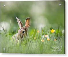 Little Hare Acrylic Print
