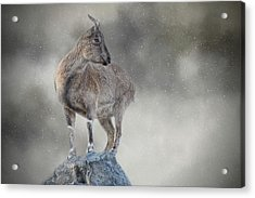 Little Rock Climber Acrylic Print