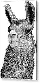 Llama Acrylic Print by Drawings & Artwork By Karl Addison