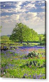 Lone Oak Standing In Field Of Acrylic Print by Danita Delimont