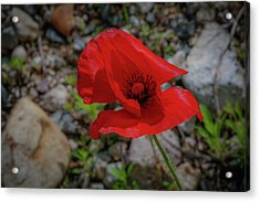 Lone Red Flower Acrylic Print