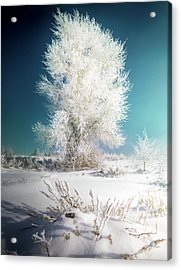 Lone Survivor / Grand Teton National Park  Acrylic Print