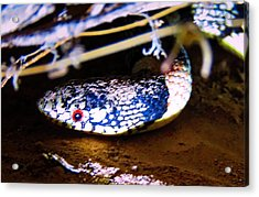 Acrylic Print featuring the photograph Longnosed Snake Portrait by Judy Kennedy