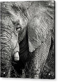 Look Of An Elephant Acrylic Print