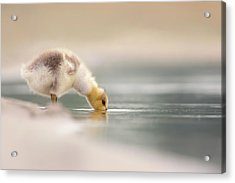 Lost Something? - Drinking Gosling Acrylic Print