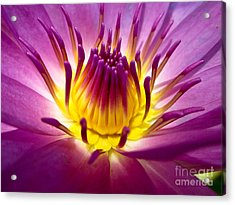 Lotus, Fresh Color, With Yellow Stamens Acrylic Print