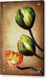 Love Poppies Acrylic Print