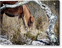 Acrylic Print featuring the photograph Lunchtime For Assateague's Gokey Go Go Bones by Bill Swartwout Fine Art Photography