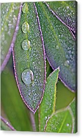 Lupin Leaves And Waterdrops Acrylic Print