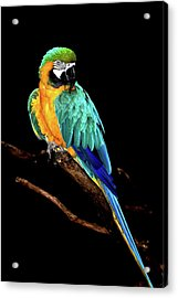 Macaw Acrylic Print by David Keith Jr. (all Rights Reserved)