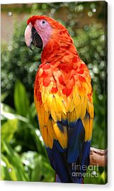 Macaw Sitting On A Branch Acrylic Print by Paul Banton