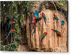 Macaws In Clay Lick In The Peruvian Acrylic Print