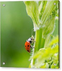 Macro Of Ladybug Adalia Bipunctata Acrylic Print by Jolanda Aalbers