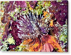 Magnificent Feather Duster Acrylic Print