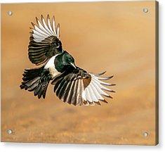Magpie Beauty Acrylic Print