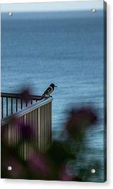Magpie Bird Acrylic Print