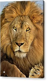 Male African Lion Portrait Wildlife Rescue Acrylic Print