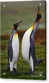 Male And Female Of King Penguin, Couple Acrylic Print