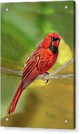 Male Cardinal Headshot  Acrylic Print
