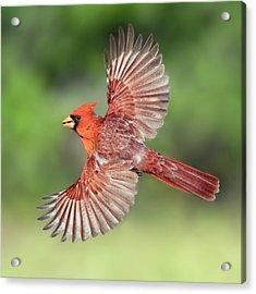 Male Cardinal In Flight Acrylic Print